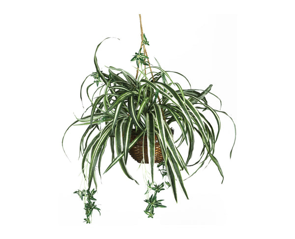 Spider Plant Hanging Baskets