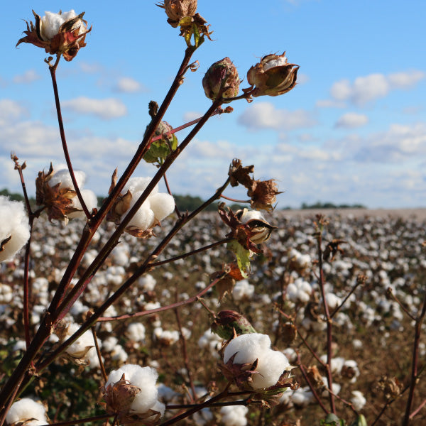 Organic cotton farming in India