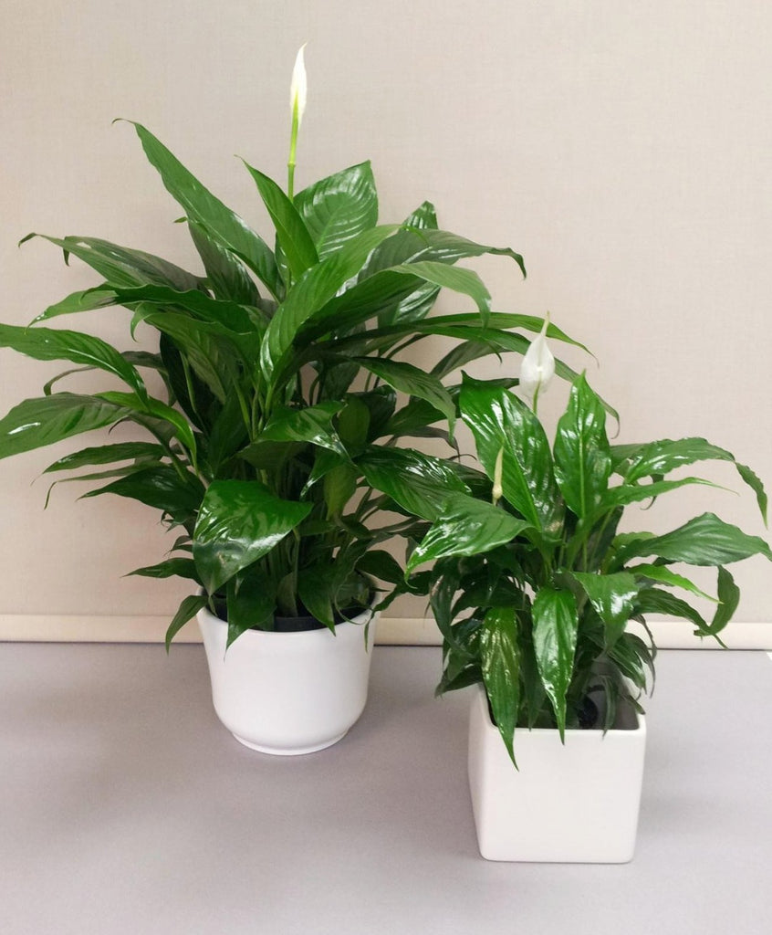 Peace lily flowers on bay peace lily izmirmasajfo