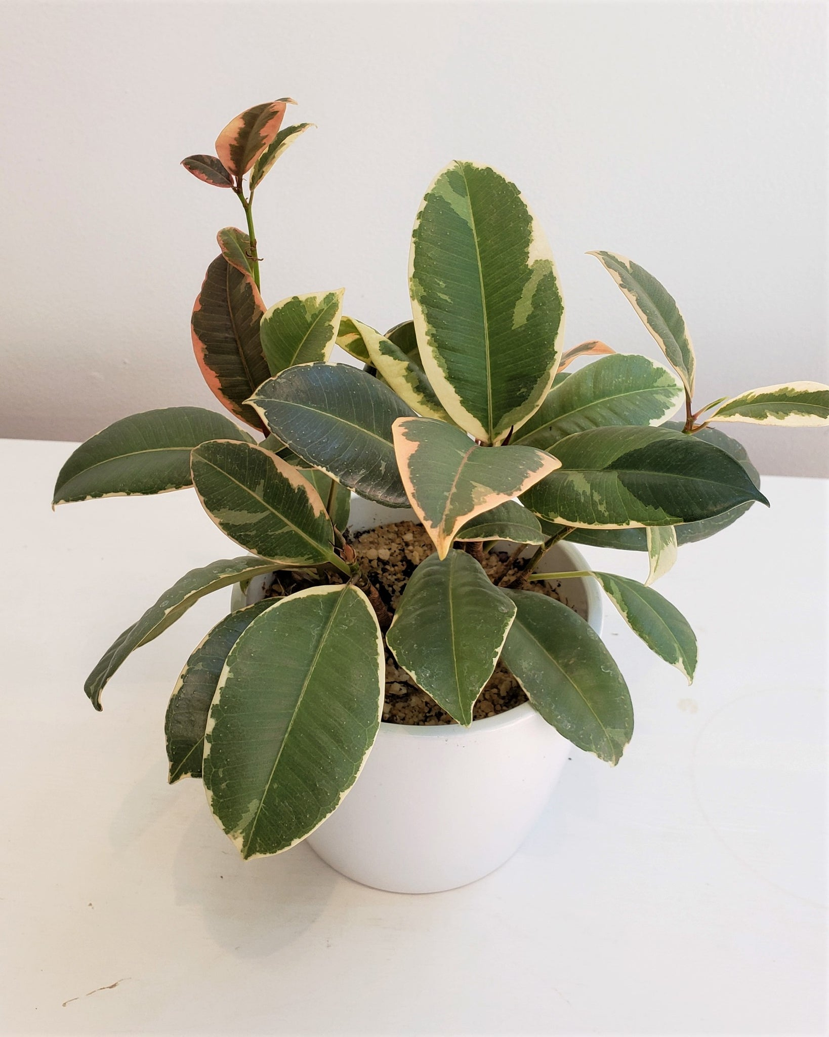 Mini Variegated Rubber Plant