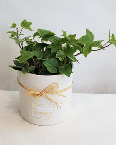 Ivy Cup