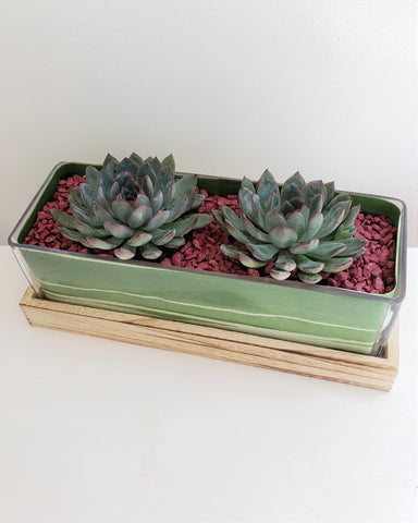 Luxury Echeveria