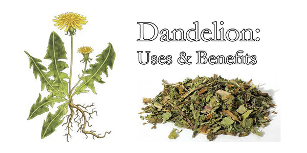Dandelion: it's uses and benefits