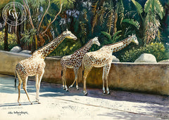 Giraffes, a California Watercolor painting by John Bohnenberger. HD giclee art prints for sale at CaliforniaWatercolor.com - original California paintings, & premium giclee prints for sale