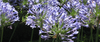 Agapanthus or Lily-Of-The-Nile