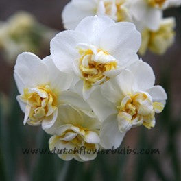 Narcissus, Double
