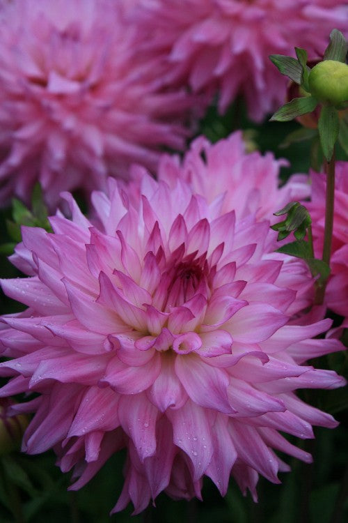 Dinnerplate Dahlia Ace Summer Emotions