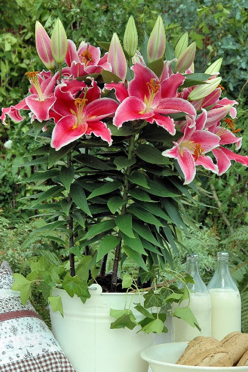 Oriental Lilium After Eight