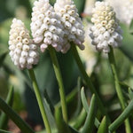Bothryoides Album