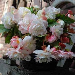 Fragrant Begonia Angelique - dutchflowerbulbs.com