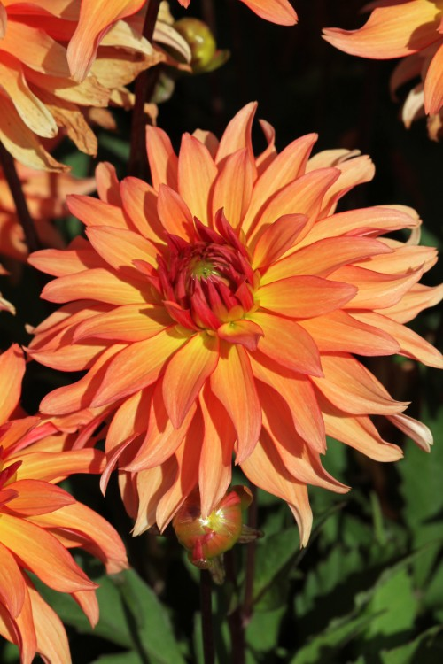 Decorative Border Dahlia Autumn Fairy