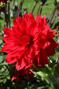 Decorative Dinnerplate Dahlia Barbarossa