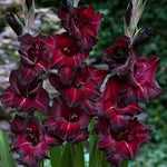Large Gladiolus Black Surprise