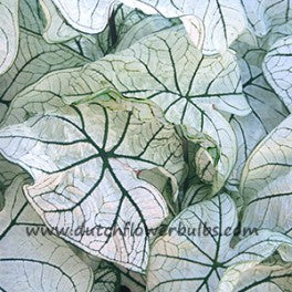 Caladium Candidum Jr. - dutchflowerbulbs.com
