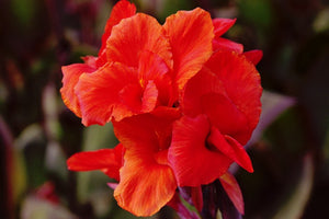 Tall Canna Red King Humbert