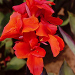 Red King Humbert - Canna Bulbs
