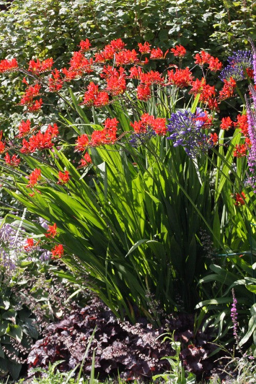 Lucifer - Crocosmia Bulbs