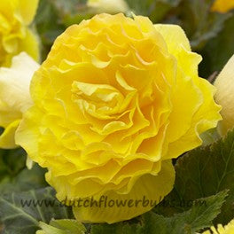 Double Camelia Begonia Yellow - dutchflowerbulbs.com