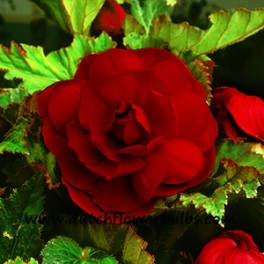 Double Camelia Begonia Red - dutchflowerbulbs.com