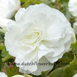 Double Camelia Begonia White - dutchflowerbulbs.com