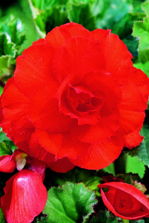Double Camelia Begonia Red - Begonia Bulbs