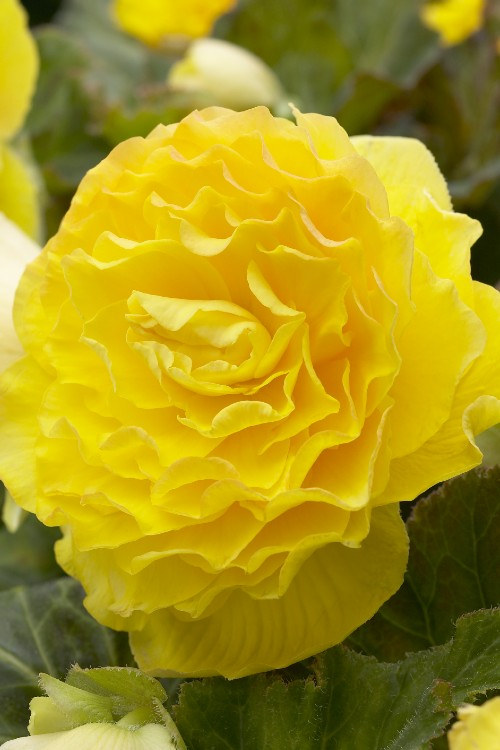 Double Camelia Begonia Yellow