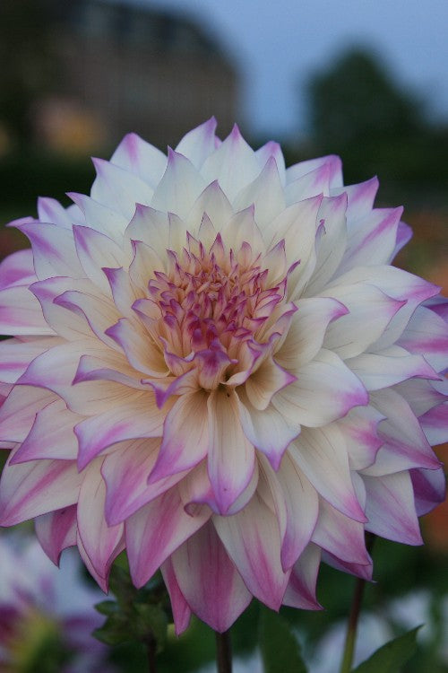 Ferncliff Illusion - Dahlia Bulbs