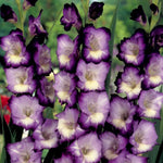 King's Lynn - Gladiolus Bulbs