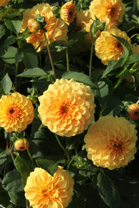 Golden Sceptre - Dahlia Bulbs