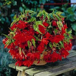 Pendula Begonia Red - dutchflowerbulbs.com