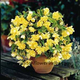 Pendula Begonia Yellow - dutchflowerbulbs.com