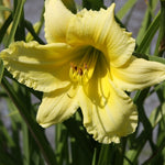 Hemerocallis yellow Big Time Happy