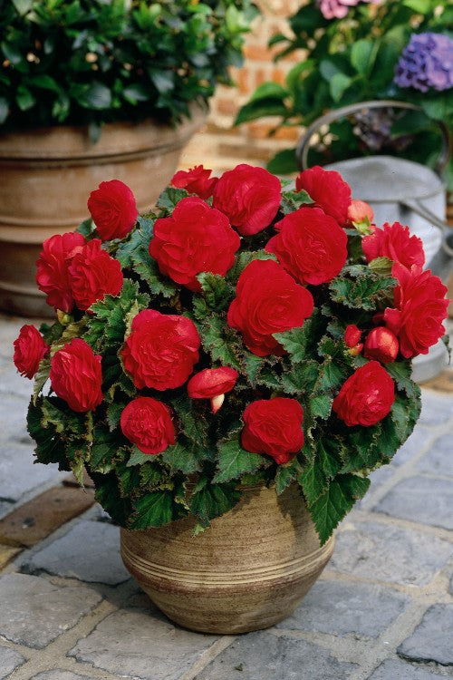 Non Stop Begonia Red - Begonia Bulbs