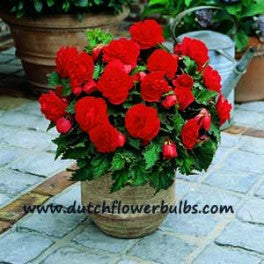 Non Stop Begonia Red - dutchflowerbulbs.com