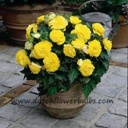 Non Stop Begonia Yellow - dutchflowerbulbs.com