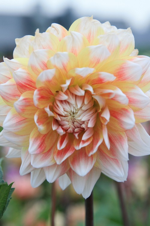 Peaches and Cream - Dahlia Bulbs