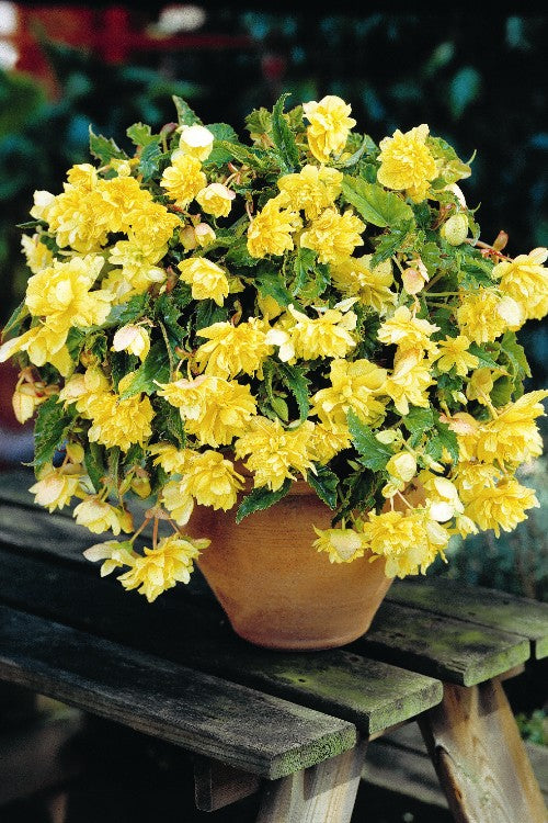 Pendula Begonia Yellow