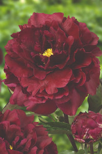 Paeonia herbaceous Peony 'Black Beauty'