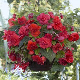 Fragrant Begonia Red Glory - dutchflowerbulbs.com