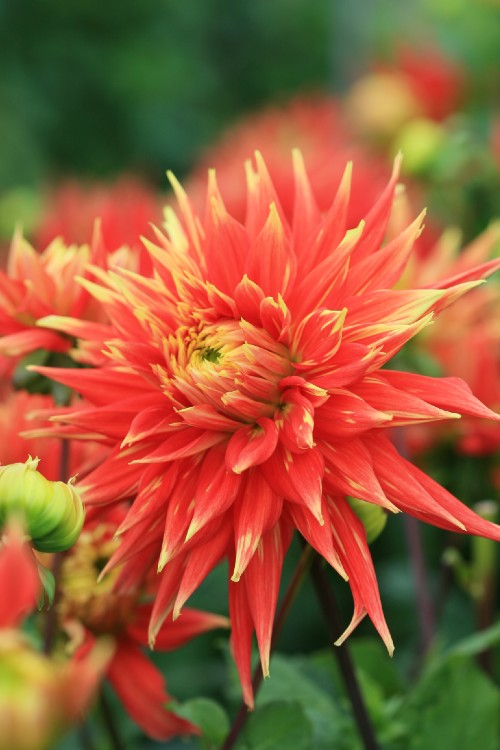Show 'N Tell - Dahlia Bulbs