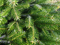 .Nordman fir real Christmas tree
