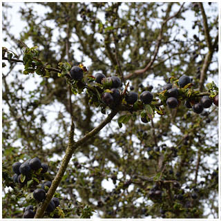 Sloe berries in the Scottish highlands
