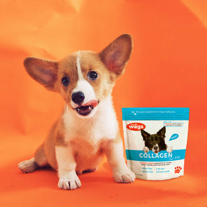 Corgie Puppy on Orange Background with Totally Wags Collagen for Dogs