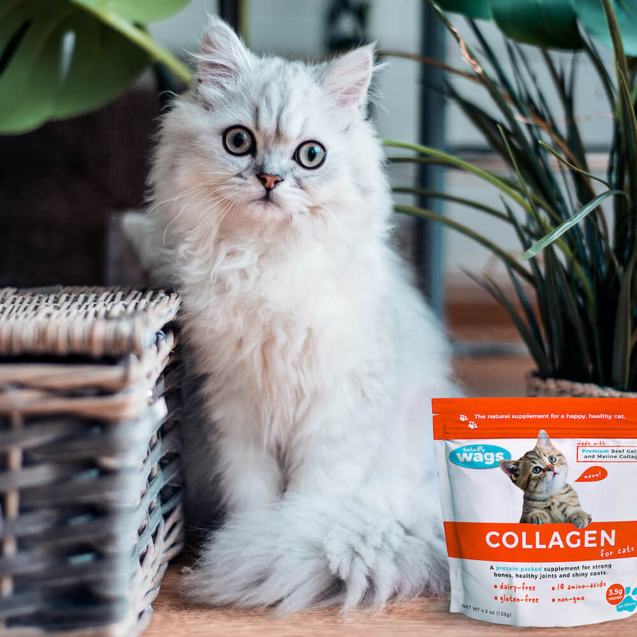 Persian cat in house with Collagen for Cats bag