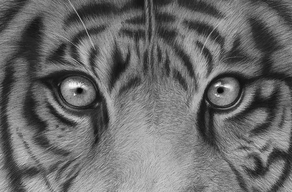 Sumatran Tiger - Signed Limited Edition Print by Peter Matthews