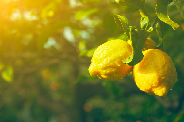fresh lemons on a tree