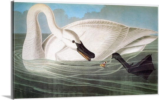 John James Audubon- Swan on Canvas