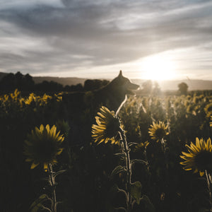 Sunsets and Sunflowers - 08