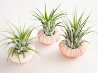 Air Plant Sea Urchin Planter