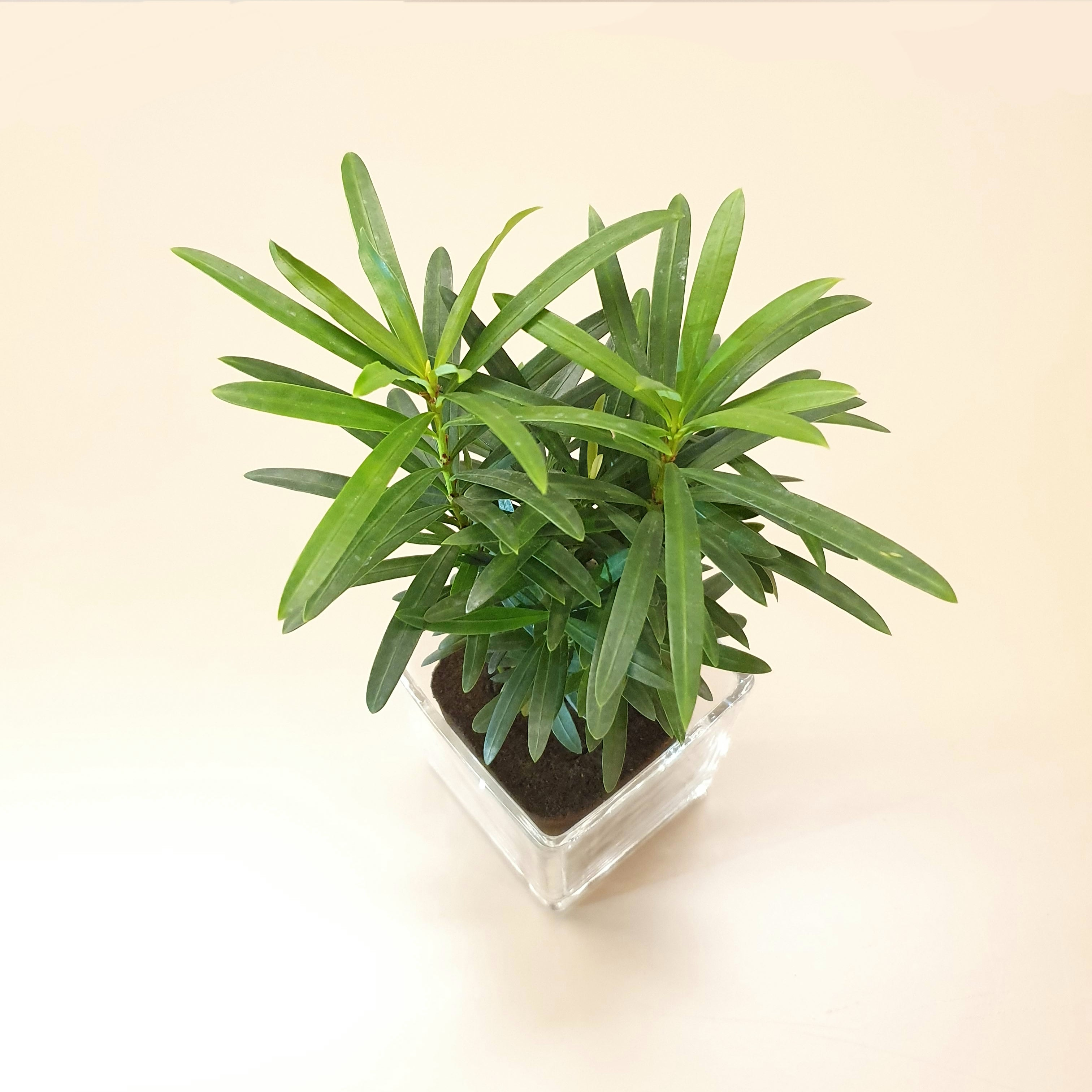 "Podocarpus Macrophyllus ""Buddhist Pine"" in Glass Pot (M)"